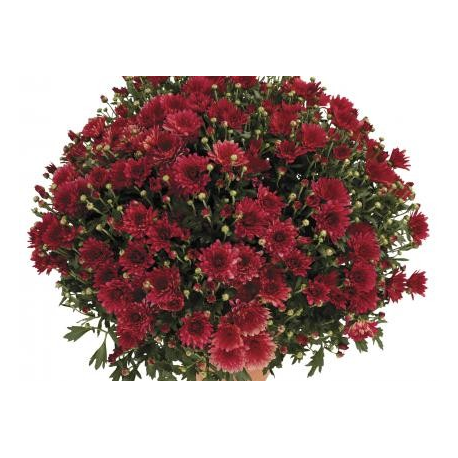 Chrysanthème Estivale Bordo Rouge