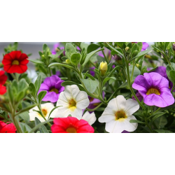 Calibrachoa Hawaiian Country 2015