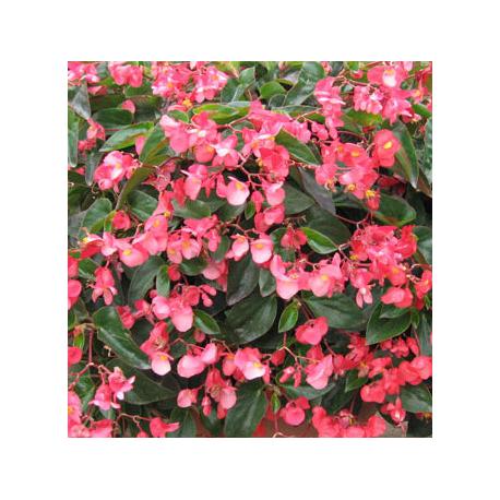 Begonia Dragon Wing Hybrida Dragon Wing Pink
