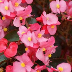 Begonia Massif Ambassador Rose