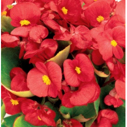 Begonia Massif Ambassador Scarlet