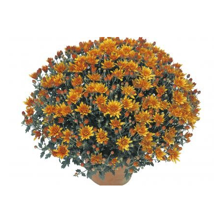 Chrysanthème Estivale Venlo Orange