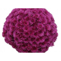 Chrysantheme Bella Violet