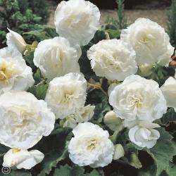 Begonia Tubereux Nonstop White