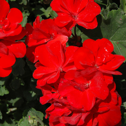 Geranium Droit Savannah Really Red