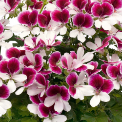 Geranium Droit Angeleyes Bicolor