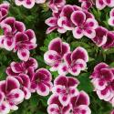Pelargonium Angeleyes Randy