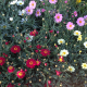 Argyranthemum Frutescens Everest