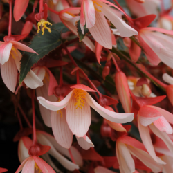 Begonia boliviensis million kiss elegance