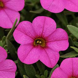 Calibrachoa Deep Pink Morn