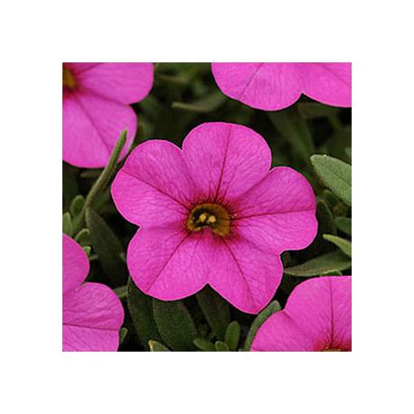Calibrachoa Deep Pink
