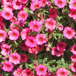 Calibrachoa Deep Pink With Red Eye