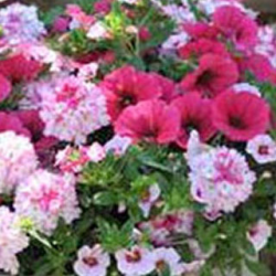 Petunia Confetti Garden Shocking Pink