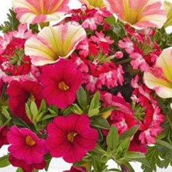 Petunia Confetti Garden Shocking Sunset