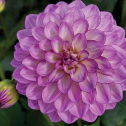 Dahlia Grandalia Grandalia Pink