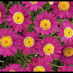 Anthemis Angelic Burgundy