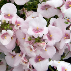Diascia Flying Appleblossom