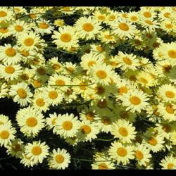 Anthemis Angelic Lemon Pastel