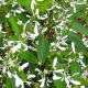 Euphorbe Diamond Frost