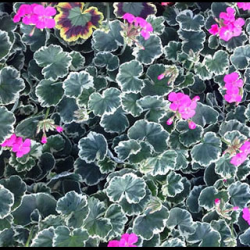 Geranium panaché Mme Salleron rose