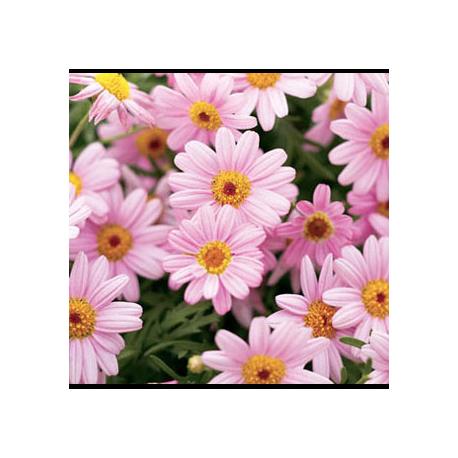 Anthemis Molimba M Pink