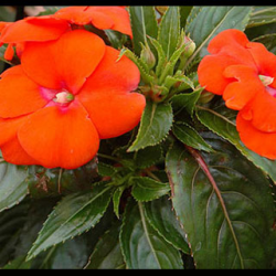 Impatiens De Nouvelle Guinee Sonic Orange