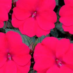 Impatiens Sunpatiens Compact Deep Rose Magenta