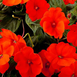 Impatiens Sunpatiens Compact Orange