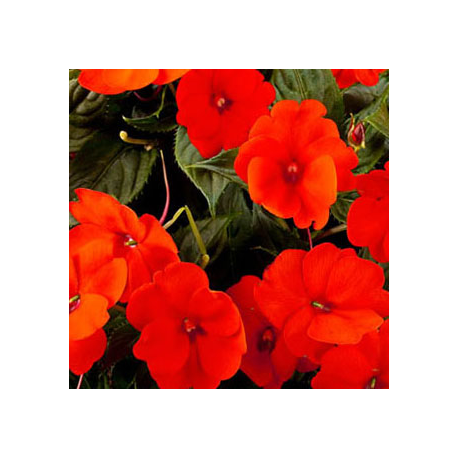 Impatiens Sunpatiens Compact Orange