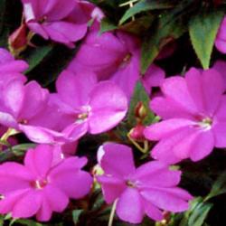 Impatiens Sunpatiens Compact Lilac