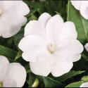 Impatiens Sunpatiens Compact White