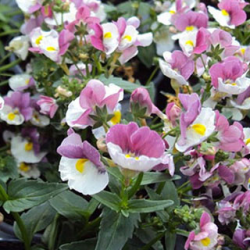 Nemesia Droit Nuvo Purple Bicolore
