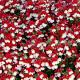 Nemesia Retombant Sunsatia Cherry On Ice