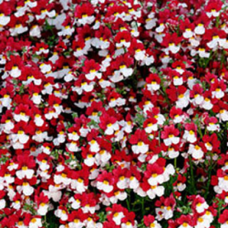 Nemesia Retombant Sunsatia Cherry On Ice