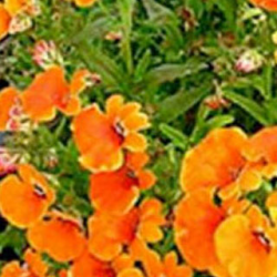 Nemesia Retombant Sunsatia Plus Clementine