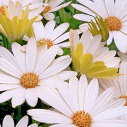 Osteospermum Voltage White