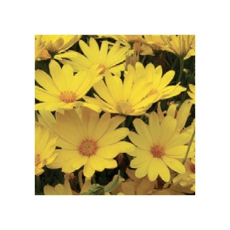 acheter osteospermum jaune voltage yellow pas cher sur coclicoh. Black Bedroom Furniture Sets. Home Design Ideas