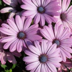 Osteospermum Astra Rose Eye