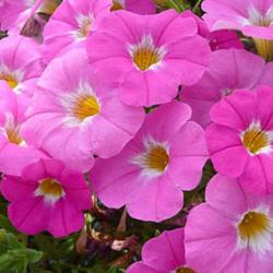 Petunia Petchoa Pink Ice