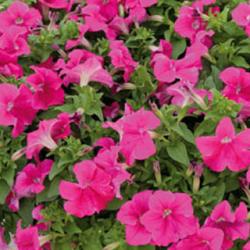 Petunia Limra Rose