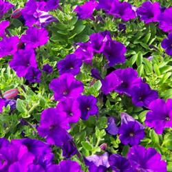 Petunia Granada Pacta Parade Blue