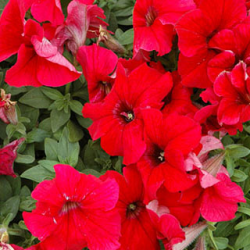 Petunia Granada Pacta Parade Red