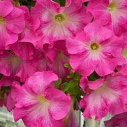 Petunia Fanfare Cherry Blossom