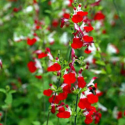 Sauge Microphylla Hot Lips rouge