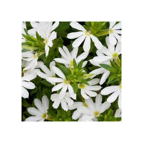 Scaevola Early Compact White