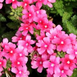 Verveine Quartz Pink