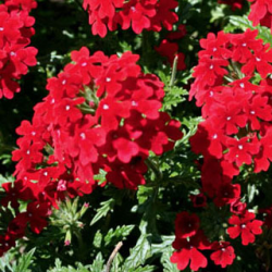 Verveine Retombante Kimono Red