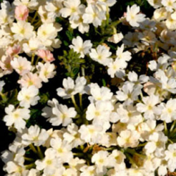 Verveine Retombante Empress Flair White