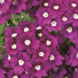 Verveine Retombante Lanai Royal Purple Eye
