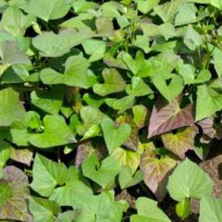Livraison de plants pour votre potager coclicoh - Acheter plant de patate douce ...